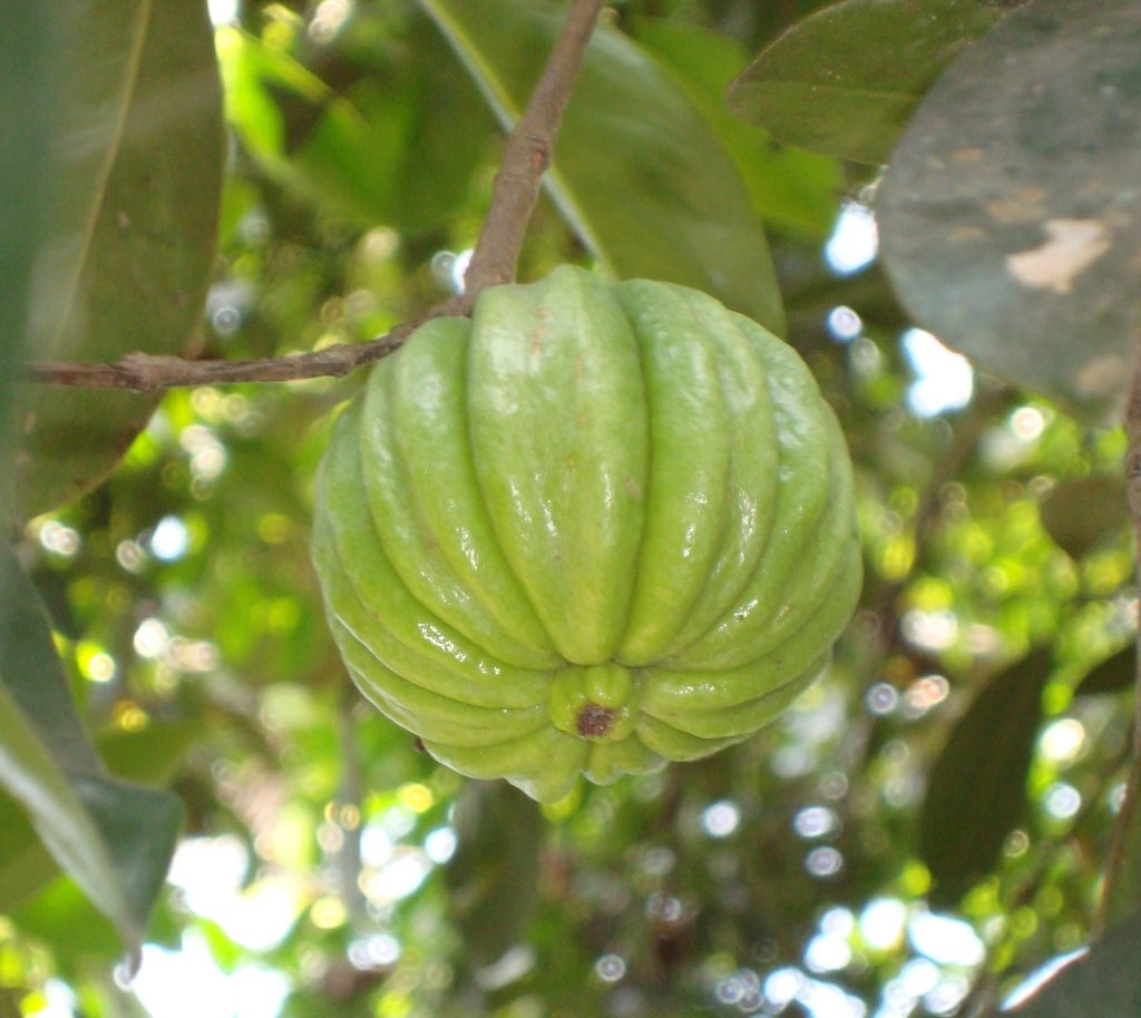 Garcinia Cambogia: the magical product to lose your extra pounds fast